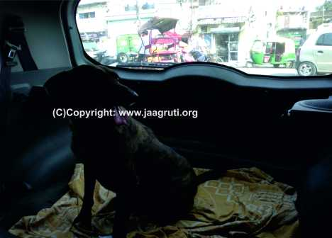 Street dog being taken in our car for treatment at the nearest vet's clinic