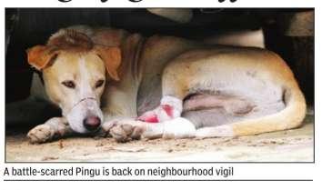Pingu brave mute street dog in Vasant Kunj_TOI_14_08_2015_014_040_011